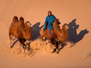 IBLERB05776803 Galloping camels. Khongor sand dunes. Umnugobi province, Mongolia, Asia