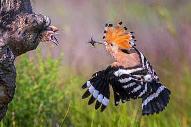 IBLTHI05885148 Hoopoe ( Upupa epops) Old bird feeding its young, Serbia, Europe