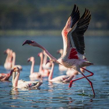 KEN11863 Loldia House; Lake Oloiden, lesser flamingo in the lake.