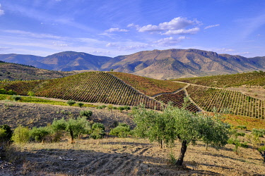 POR11195AW Vineyards and olive trees, the main crops around Barca d'Alva, Alto Douro. A UNESCO World Heritage Site. Portugal