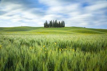 ITA16457AW Cypress trees, San Quirico d'Orcia, Tuscany, Italy