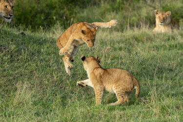 KN01127 Lion cubs playing, Maasai Mara, Kenya, Africa