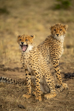 KN01130 two young Cheetah in Maasai Mara Game Reserve, Kenya, Africa