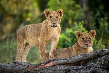 KN01134 Lion cubs, Maasai Mara, Kenya, Africa