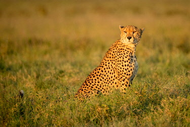 TZ02475 Cheetah, Serengeti National Park, Tanzania, Africa,