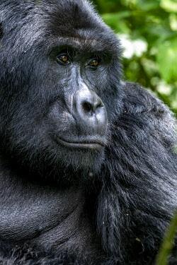 UG01068 Male Gorilla, silverback, uganda bwindi impenetrable national park, east africa, black and white