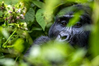 UG01071 Gorilla feeding, uganda bwindi impenetrable national park, east africa, black and white