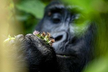 UG01073 Gorilla feeding, uganda bwindi impenetrable national park, east africa, black and white