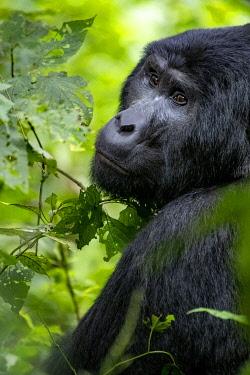 UG01074 Male Gorilla, silverback, uganda bwindi impenetrable national park, east africa, black and white