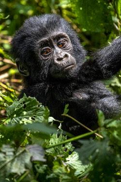 UG01075 Young Gorilla, uganda bwindi impenetrable national park, east africa,