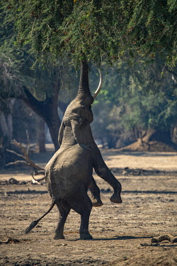 ZB01035 Elephant feeding on hind legs, Mana Pools, Zimbabwe, Africa