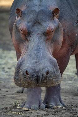 ZB01040 Close up of hippo head, feeding, Mana Pools, Zimbabwe, Africa