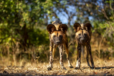 ZM01034 Two wild dogs staring,  South Luangwa Valley National Park Zambia Africa