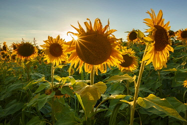 CLKAG135946 Sunset on Sunflowers field (Helianthus Annuus), Lurago Marinone, Como province, Lombardy, Italy