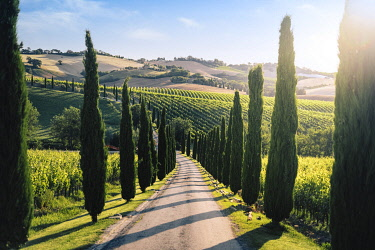 Italy, Marche. Macerata district. Urbisglia. Typical Marche landscape near Urbisaglia with cypresses and vineyards.