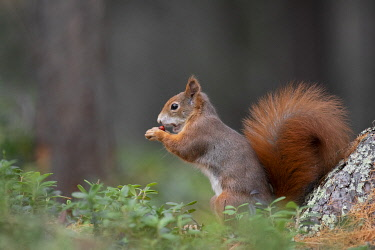 CLKSV139763 Switzerland  Eurasian red squirrel Sciurus vulgaris