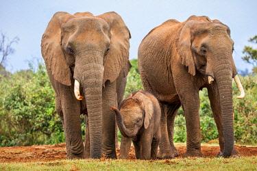 KEN11982 African elephants at a salt lick in the Aberdare Mountains, Kenya, Africa