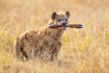 KEN12040 Kenya, Masai Mara, Narok County.  A spotted Hyena carrying the leg of a Topi.