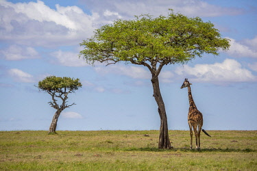 Richards Camp, Masai Mara, Kenya, a lone Masai giraffe stands beneath an acacia tree.