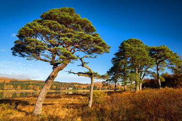 SCO36055AW Scots Pines along Loch Tulla in Autumn, Argyll & Bute, Scotland