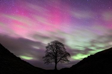 ENG18675AW Aurora Borealis over Sycamore Gap, Hadrian's Wall, Northumberland, England