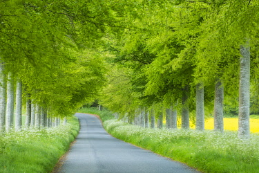 ENG18683AW Beech avenue, Moor Crichel, Dorset, England, UK
