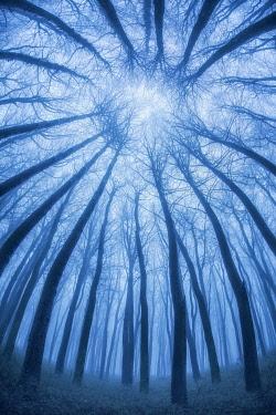 ENG18713AW Winter beech woodland tree canopy, Compton Abbas, Dorset, England, UK