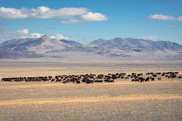IBXFBA05906010 Landscape, herd of cattle, Altai, Mongolia, Asia
