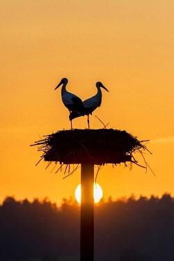 IBXROH06098509 White stork, stork nest in the evening light, pair, Ciconia ciconia, Lützelsee, Canton Zurich, Switzerland, Europe