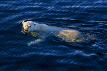 IBXTKR05886034 Swimming polar bear in the sea, open water, east coast Greenland, Denmark, Europe