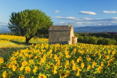 FRA12157AW Sunflowers, Valensole Plateau, Provence, France