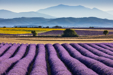 FRA12163AW Lavender in bloom on the Valensole Plateau, Provence, France