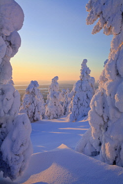 FIN1191AW Snow covered trees in Finland