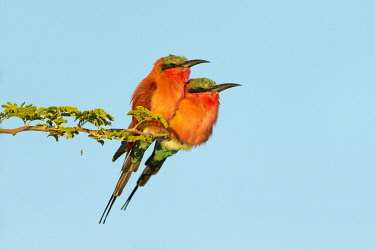 Southern Carmine Bee-eater (Merops nubicoides) pair perched, Chobe National Park, Botswana, Africa