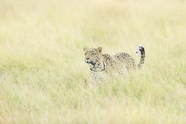 BOT6060AW Leopard (Panthera pardus), Savuti, Chobe National Park, Botswana, Africa