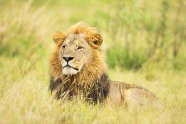 BOT6072AW Lion (Panthera leo), Male, Savuti, Chobe National Park, Botswana, Africa