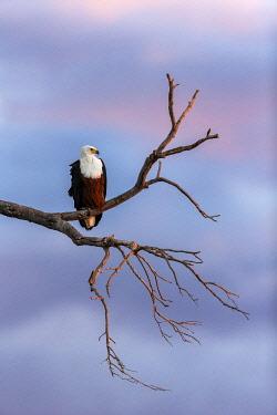 BOT6102AW African Fish Eagle (Haliaeetus vocifer), Savuti, Botswana, Africa