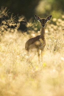 BOT6114AW Impala (Aepyceros melampus), Khwai, Botswana, Africa