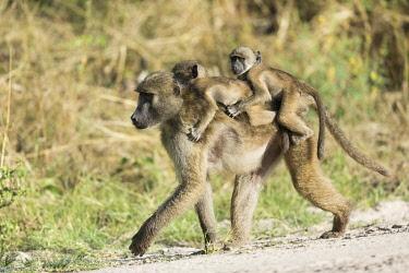 BOT6129AW Baboon (Hamadryas papio) carrying twins, Khwai, Botswana, Africa