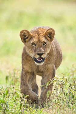 TZ4209AW Lion (Panthera leo) cub walking through the grassland of the Serengeti National Park, Tanzania
