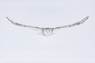 CAN3618AW Snowy owl (Bubo scandiacus), Ontario, Canada