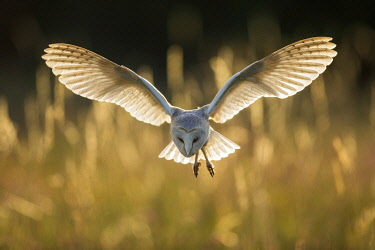 Barn Owl (Tyto alba), (C), Hampshire, England, UK