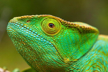 MAD1112 Parson's chameleon (Calumma parsonii) in Ranomafana National Park, Madagascar