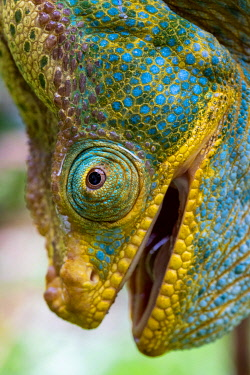 Close-up of the head of a male Parson's chameleon (Calumma parsonii) in Ranomafana National Park, Madagascar