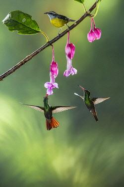 CR3340AW Bananaquit (Coereba flaveola) and Rufous-tailed Hummingbird (Amazilia tzacatl), Costa Rica