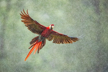 Scarlet Macaw (Ara macao) in flight in the rainforest, Costa Rica
