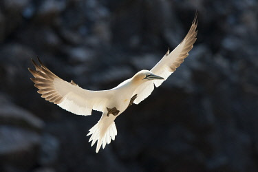 IRL1165AW Northern Gannet (Morus bassanus), Great Saltee Island, Republic of Ireland