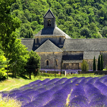 France, Provence-Alpes-Cote D'Azur, Vaucluse, Parc Naturel Regional du Luberon (Natural Regional Park of Luberon), municipality of Gordes, field of lavender in front of the Cistercian Abbey Notre Dame...