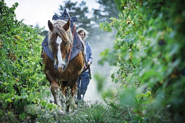 France, Occitanie, Aude, Saint-Polycarpe, Gres-Vaillant winery, vineyard landscape and wine-growing activity with a horse