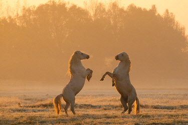 France, Hauts-de-France, Somme, Baie de Somme, Noyelles-sur-mer, as the day rises and the first frost has arrived, two Camargue stallions begin a series of games and chases